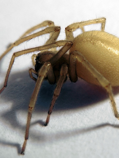 Dornenfingerspinne Yellow Sac Spider Wiki Commons Mazda