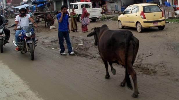 Eine Kuh im Straßenverkehr Nepals