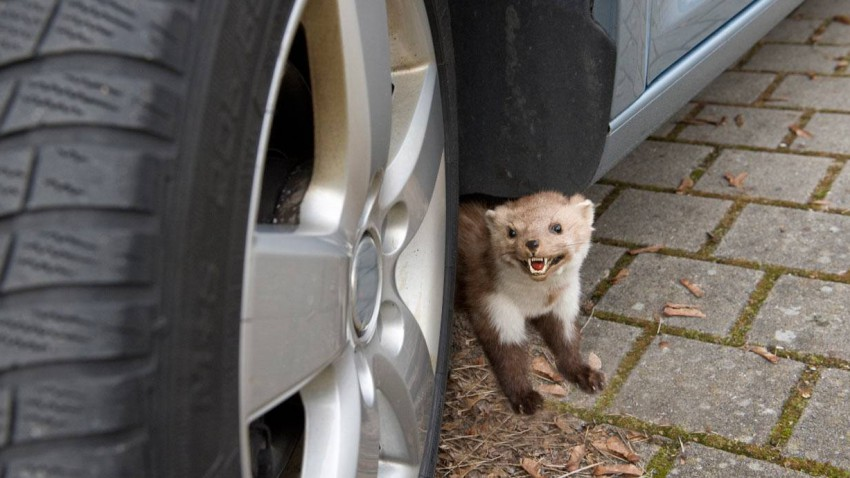 Marder unter einem Auto