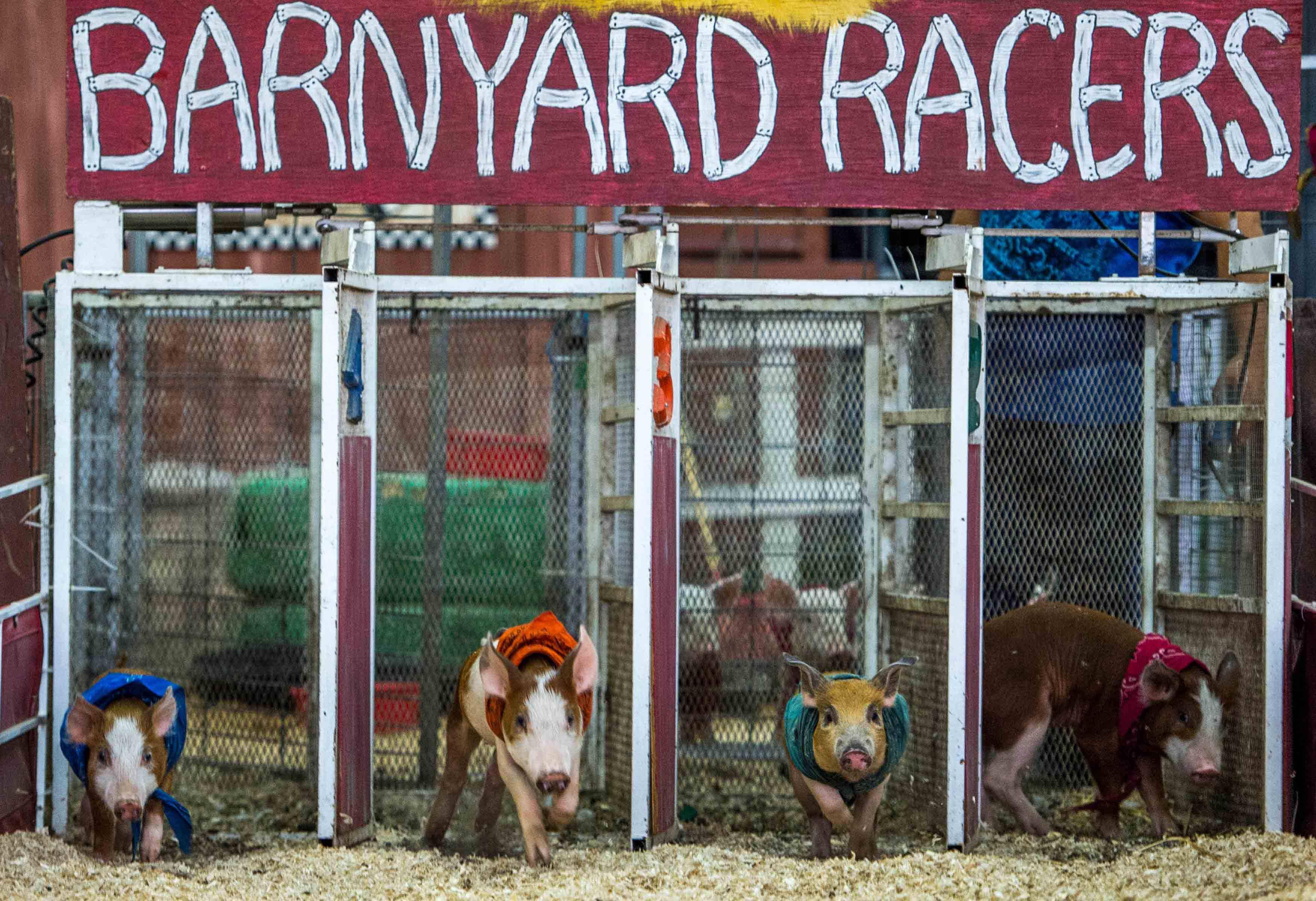 In Los Angeles findet bereits das Schweinerennen im Schweinsgalopp statt. © Bild: JOE KLAMAR/AFP/Getty Images