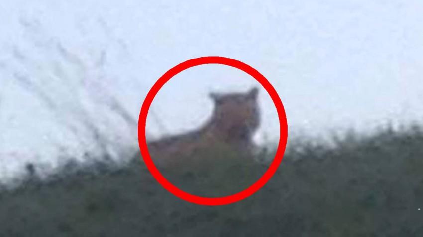 Der Tiger von Loch Ness? Nein! Die Raubkatze wurde in der Nähe von Disneyland Paris gesichtet.