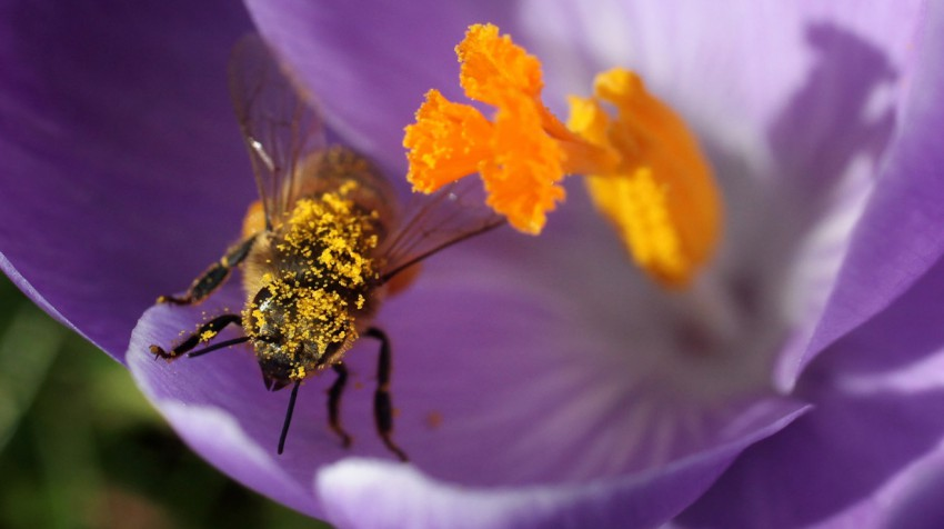bienen-essen-gerne-pollen-am-donnerstag