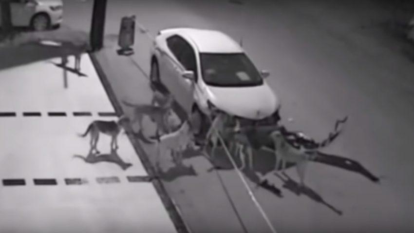 Straßenhunde fressen Auto