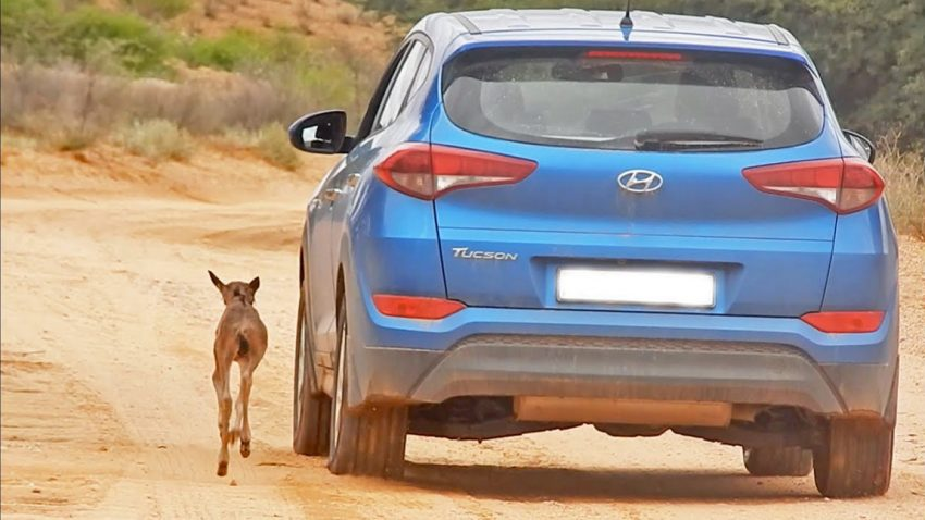 Dieses Baby-Gnu hält einen Hyundai Tucson für seine Mutter