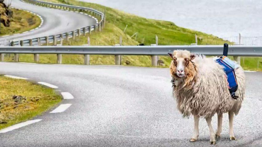 Google Sheep View: Kamera-Schafe auf den Färöern