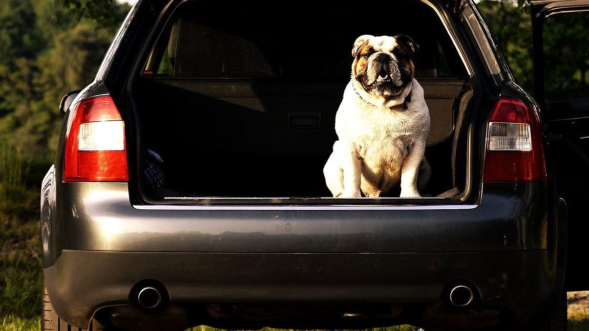 Tierisch aufpassen: Transport von Tieren im Auto