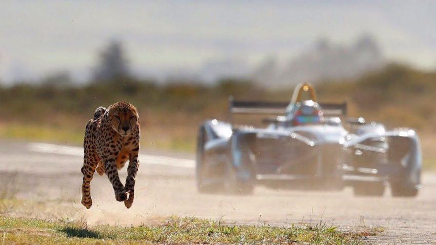 Dieser Gepard ist (fast) schneller als ein Formel E-Auto