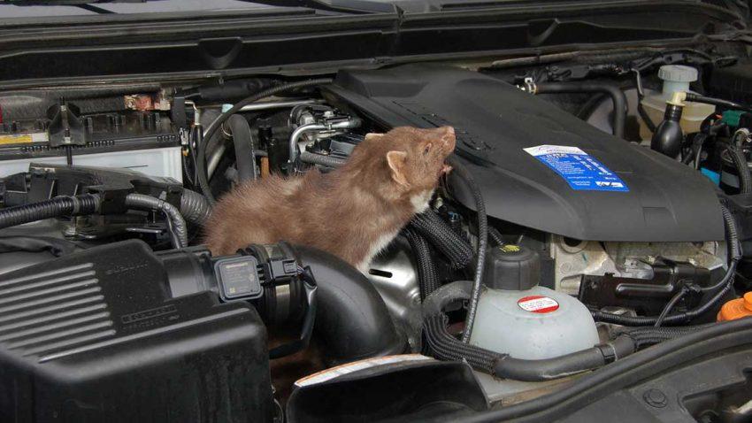 Ein Marder sitzt im Motorraum eines Autos.